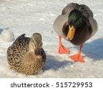 A Pair Of Mallard Ducks