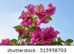Fresh Pink Bougainvillea On...