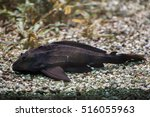 Small photo of Adonis pleco (Acanthicus adonis). Freshwater fish.