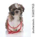 Female Shih Tzu Puppy Wearing...