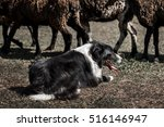 Border Collie Herding Seep