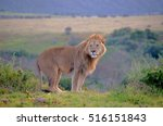 Side View Of Male Lion Standin...