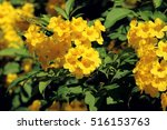 Small photo of Allamanda neriifolia Hook