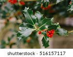 Holly Bush With Bright Red...