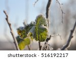 Small photo of Climate aberration - green blackcurrant leaves covered with hoar frost