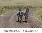 Curious Zebras Looking And...