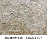 Shell Fossil  In Stone...