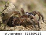 Small photo of Trapdoor spider (Nemesiidae) macro portrait. Liguria. Italy.