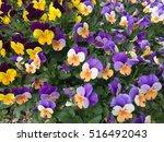 beautiful flowers in botanic... | Shutterstock . vector #516492043