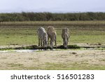 Zebras Drinking Water In Lake...