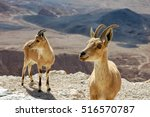 Two ibexes on the cliff edge at Ramon Crater in Negev Desert, Israel.