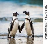 African Penguin Walk Out Of Th...