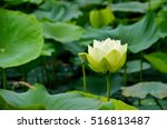 Lotus And Water Lily Pond With...