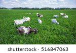 Herd Of Goats  On A Green...