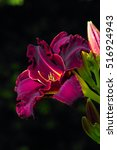 Dark Red Daylily   Taglilie  ...