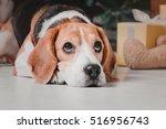 Beagle Dog Lying Down On Whitw...
