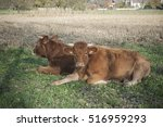 Two Brown Cow Sitting In A...