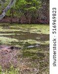 Small photo of Louisiana bayou alligator mississippiensis