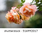 Stock photo tea rose garden in the autumn in belarus 516992017