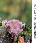 Small photo of Mushroom violet or purple in pinewood Amethyst Deceiver ( Laccaria Amethystina ) on unfocused background and leaving clearly see the sheets