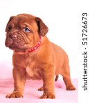 One Month Old Dogue De Bordeau...