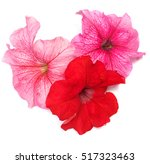 Petunias Flower Of Red And Pin...