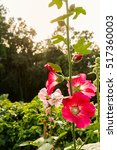 Small photo of Close up of magenta Hollyhock, Alcea rosea blossom on nature tree background
