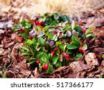 Small photo of Gaultheria procumbens - eastern teaberry, the checkerberry, the boxberry, the American wintergreen