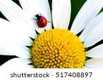 beetle ladybug on daisy flower  ...