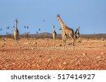 Giraffes In Desert Savannah Of...