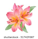Beautiful Pink Lily  Isolated...