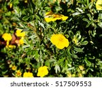 Dasiphora Fruticosa Syn...