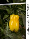 Detail Of Yellow Pepper In...