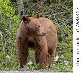 Small photo of Cinnamon American Black Bear - female