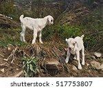 Newborn White Goats In Wild...