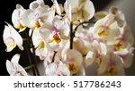 white orchid in full bloom | Shutterstock . vector #517786243