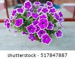 White And Purple Petunia...