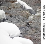 dipper on the river in winter | Shutterstock . vector #517859137