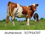 cow on a summer pasture | Shutterstock . vector #517916707