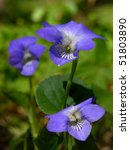 Wild Growing Violet...