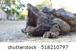 Angry Alligator Snapping Turtl...