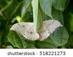 emperor moth resting on a tree... | Shutterstock . vector #518221273