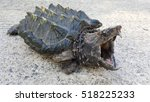 Small photo of Alligator snapping turtle on the road