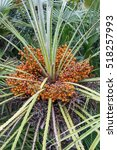 palm leaves with the fruits of... | Shutterstock . vector #518257993