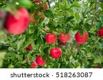 Garden Apple In Orchard At...