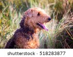 Small photo of Airedale on the field