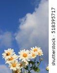 White Little Daisy Flowers...