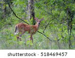 white tailed deer fawn ... | Shutterstock . vector #518469457