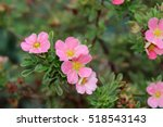 Blooming Cultivar Shrubby...