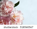 closeup of beautiful pink... | Shutterstock . vector #518560567